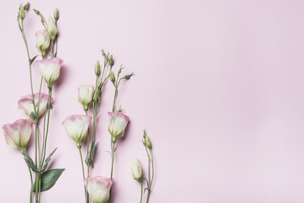 Brindilles de fleurs d'eustoma sur fond rose