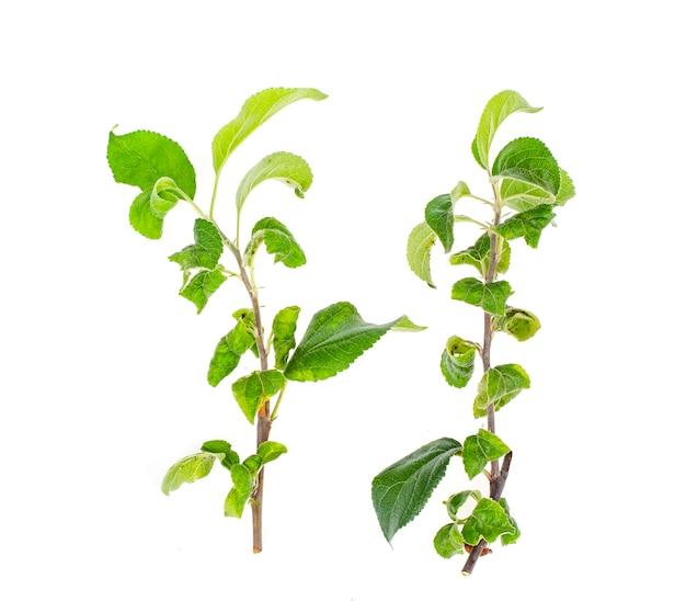 Brindilles de pommier avec des feuilles malades.