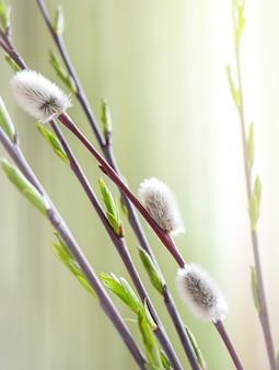 Brindilles de saule de printemps en fleurs au soleil
