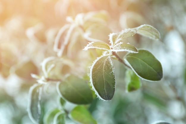 Brins de rose congelés avec des feuilles vertes sur fond d'hiver flou