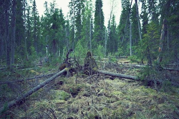 Brise-vent dans la forêt de la taïga, arbres abattus