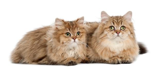 British longhair cat, 4 mois, couché