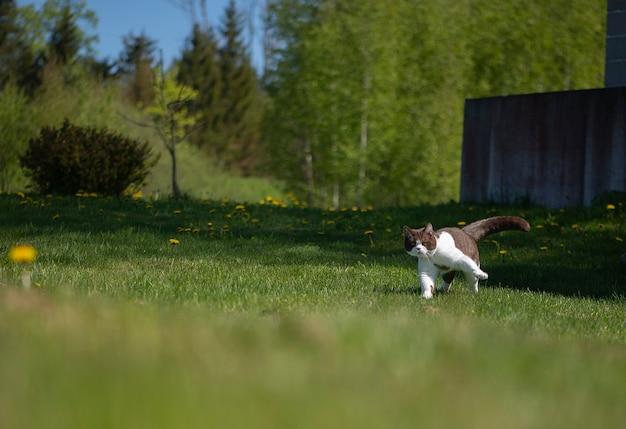 British shorthair cat effectue des exercices du matin dans le jardin d'été