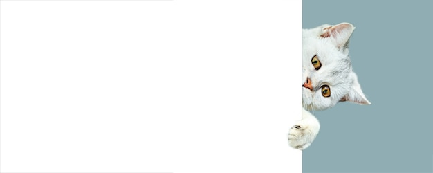 British shorthaired chat curieux, furtivement derrière un fond blanc. isolé sur un fond bleu clair. espace de copie. bannière.