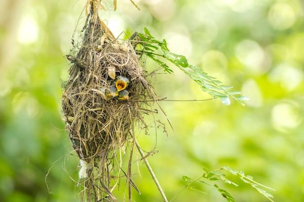 Broadbill à poitrine argentée (serilophus lunatus) bébé dans le nid