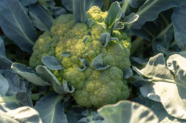 Brocoli bio frais dans le jardin.