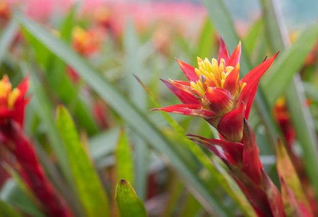 Broméliacées (bromeliaceae) plante fleur tropicale