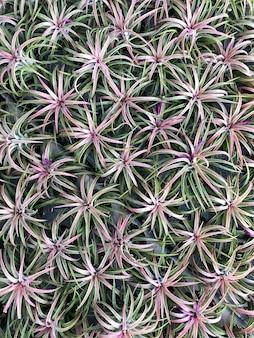 Broméliacées dans le jardin
