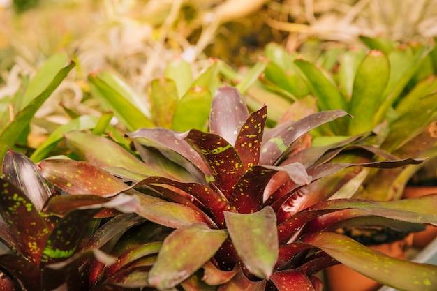 Broméliacées fraîches dans le jardin