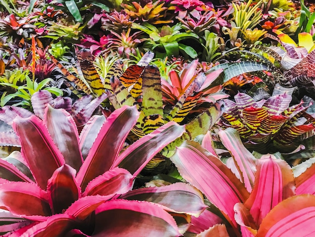 Broméliacées ou urne plante dans le jardin