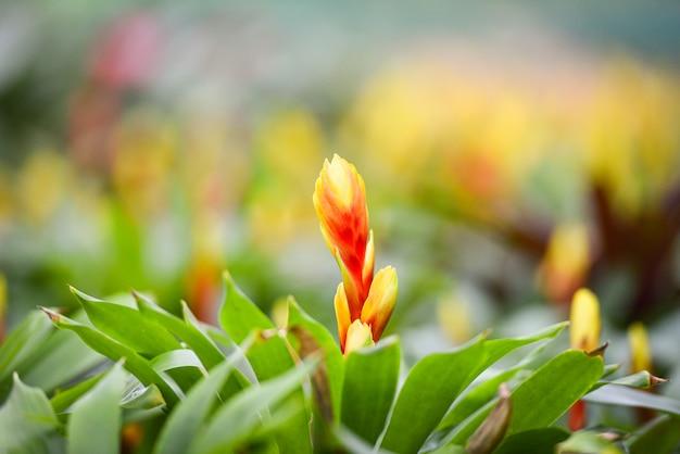 Bromeliad fleur décorer / beau fond de plantes de pépinières de jardin de bromeliad rouge et jaune