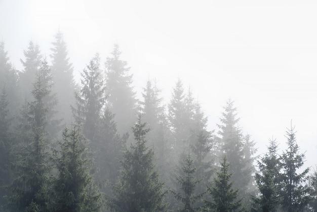 Brouillard brumeux dans la forêt de pins sur les pentes des montagnes des carpates. paysage avec beau brouillard en forêt sur la colline.