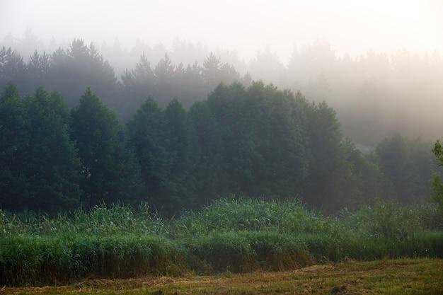 Brouillard dans la forêt de conifères dense