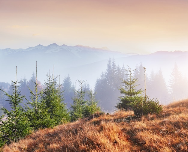 Le brouillard du matin se glisse avec des restes sur la forêt de montagne d'automne couverte de feuilles d'or. des sommets enneigés de montagnes majestueuses en arrière-plan