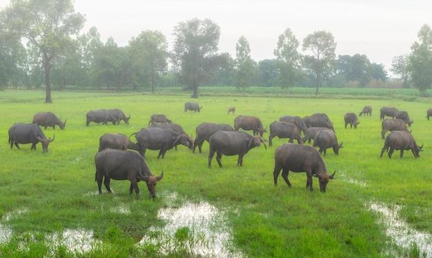 Brouillard le matin avec les troupeaux de buffles dans la thaïlande rurale du pays