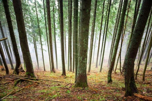 Brouillard mystérieux dans la forêt verte avec des pins