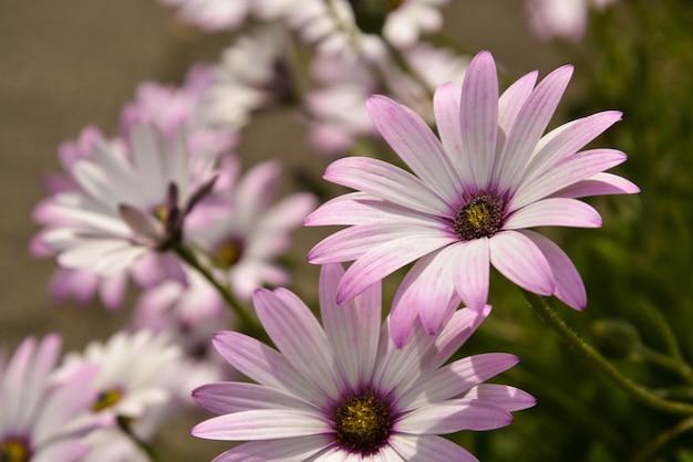 Brousse de fleurs de camomille rose d'été. jardin des fleurs vivantes.