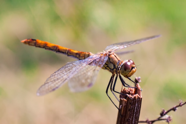 Brown dragongly s'asseoir sur une branche en été. faible profondeur de champ