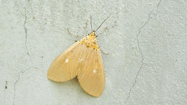 Brown moth sur un mur de ciment gris.