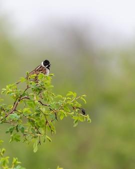 Bruant des roseaux assis sur une branche.