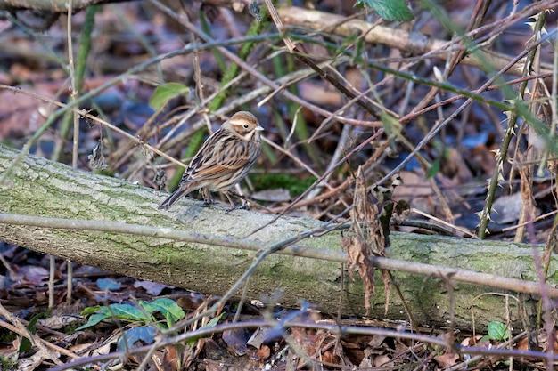 Bruant des roseaux commun femelle (emberiza schoeniclus) perché sur un arbre tombé