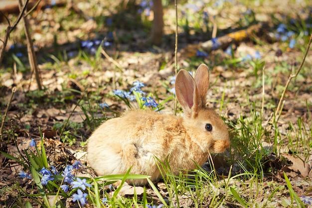 Brun lapin moelleux dans un pré de fleurs bleues. un petit lapin décoratif va sur l'herbe verte à l'extérieur
