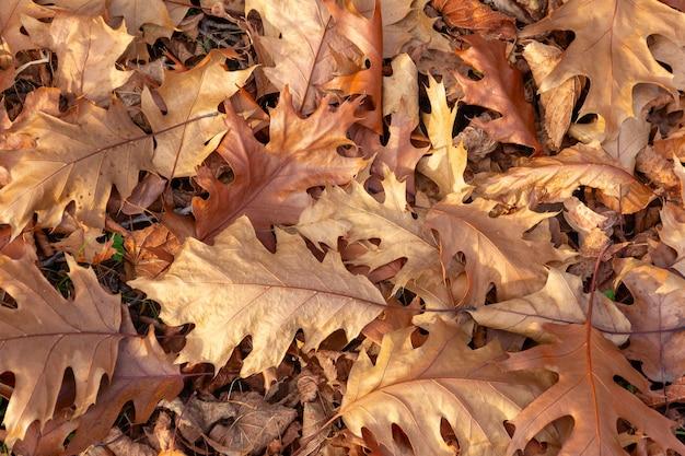 Brun sec automne feuilles de sycomore tombé close up
