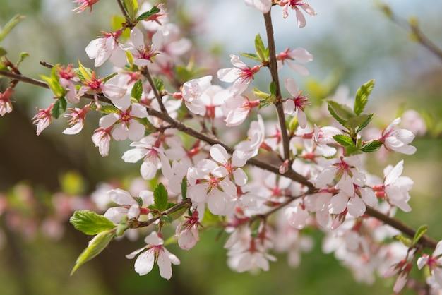 Brunch aux cerises en fleurs, gros plan. thème de fleur de printemps