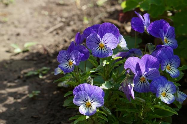 Brunch de fleurs en fleurs bleu viola dans le jardin