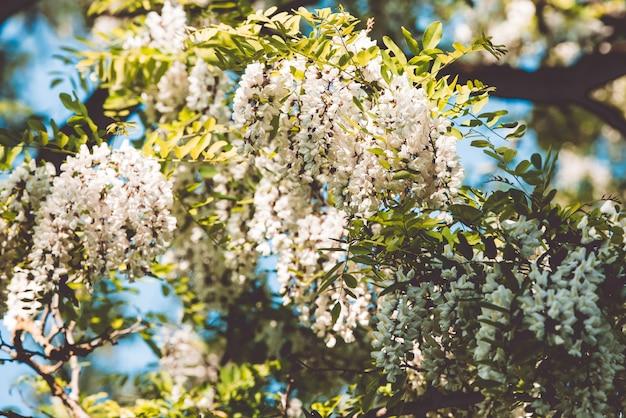 Brunchs d'arbres d'acacia à fleurs blanches