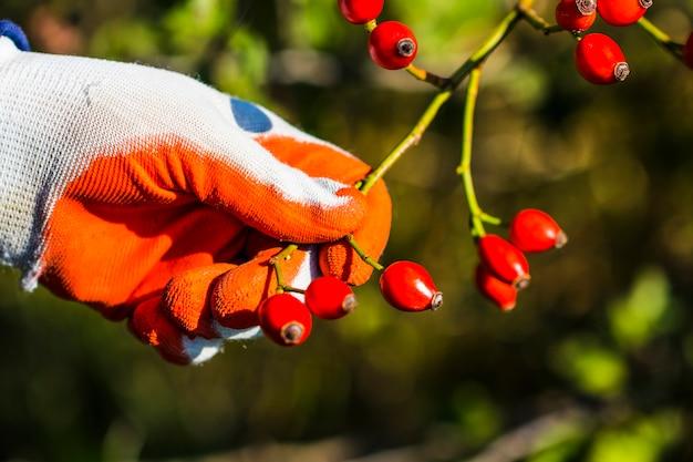 Bruyère, arbuste d'églantier sauvage dans la nature.