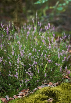 Bruyère forestière, buisson de fleurs lilas, délicates et belles inflorescences