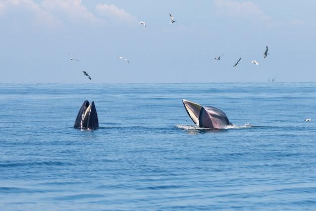 Bryde's whale balaenoptera edeni deux gros poissons dans la mer
