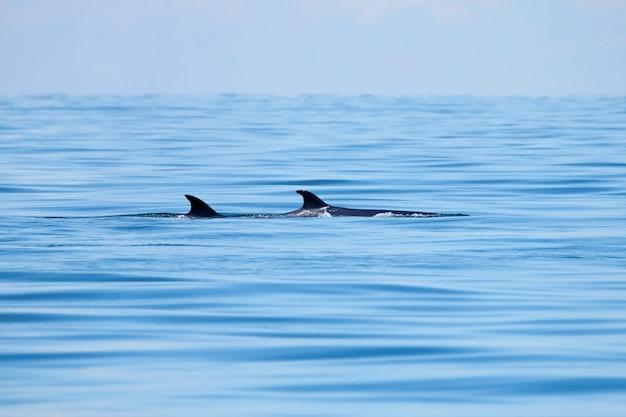 Bryde's whale balaenoptera edeni gros poisson dans la mer avec poisson nageoire dorsale