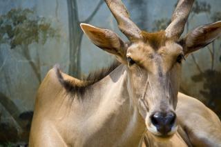 Buck chevreuil, le cerf de virginie