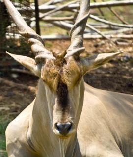 Buck chevreuil, de la marche