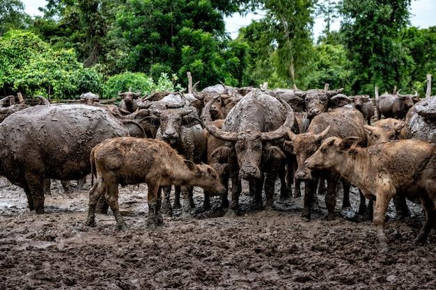 Buffalo dans les zones rurales du pays, thaïlande.