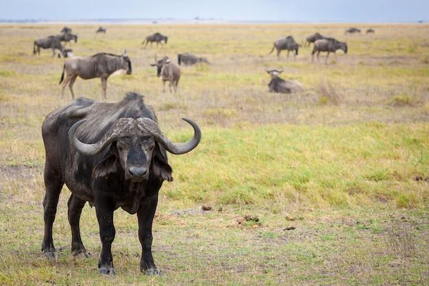 Buffalo debout dans la savane du kenya