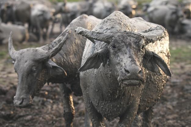 Buffalo qui est élevé à l'intérieur de l'enceinte