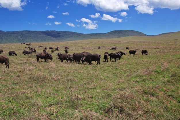 Buffalo en safari au kenya et en tanzanie, en afrique