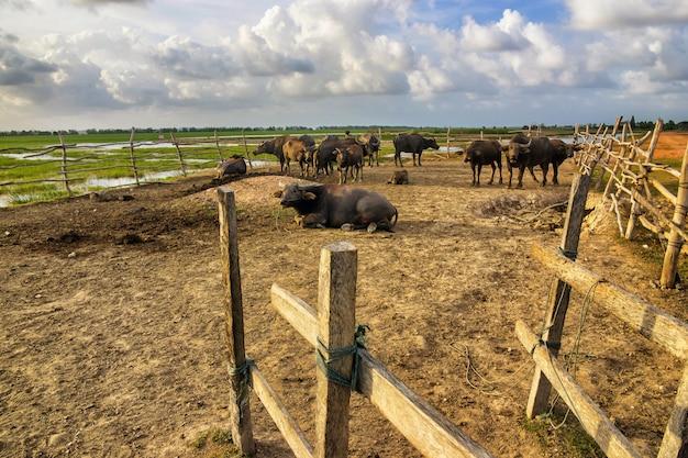 Buffalo en stalle