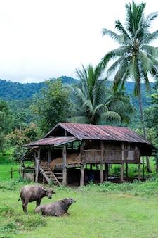 Buffle et cabane dans la province de mae hong son en thaïlande