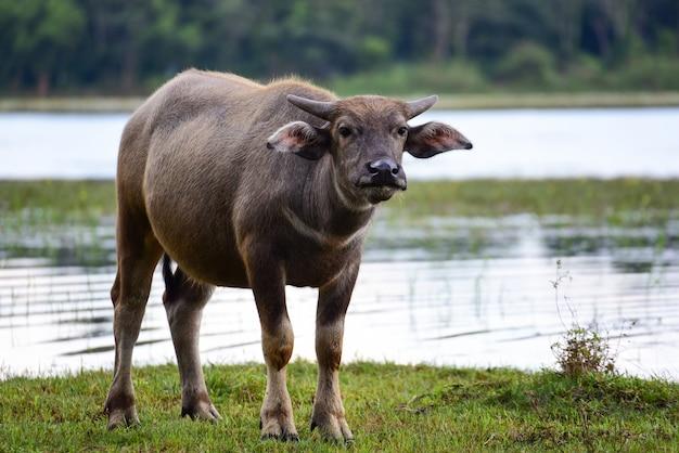 Buffle dans champ mangeant de l'herbe en thaïlande