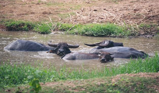 Buffle dans l'étang de boue