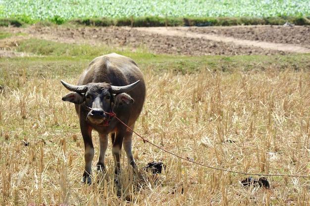 Buffle dans une ferme