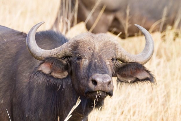 Buffle du cap du parc national du serengeti, tanzanie