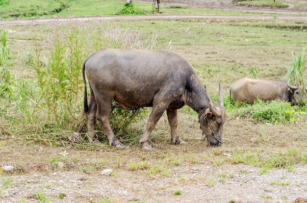 Buffle d'eau ou buffle d'asie domestique (bubalus bubalis)