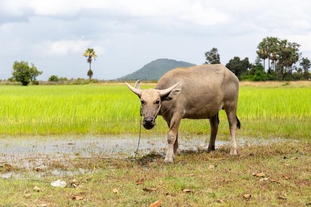 Le buffle d'eau dans une rizière humide des champs de couleurs vives.