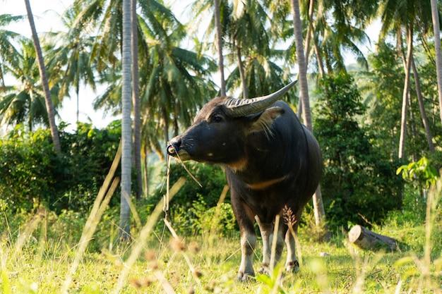 Un buffle à grandes cornes broute sur la pelouse dans une jungle tropicale verte.