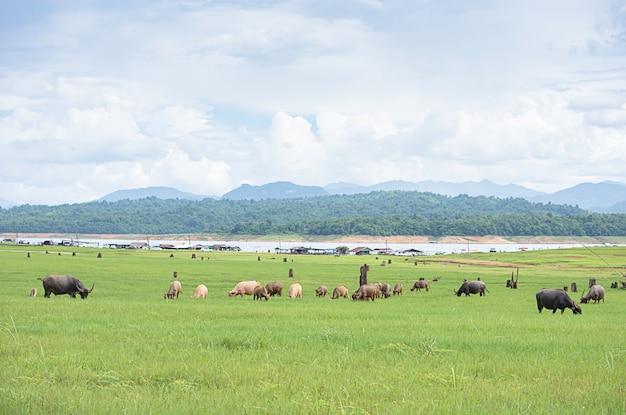 Un buffle mange de l'herbe sur un fond de prairie eau floue et montagne au barrage de vajiralongkorn, kanchanaburi, thaïlande.